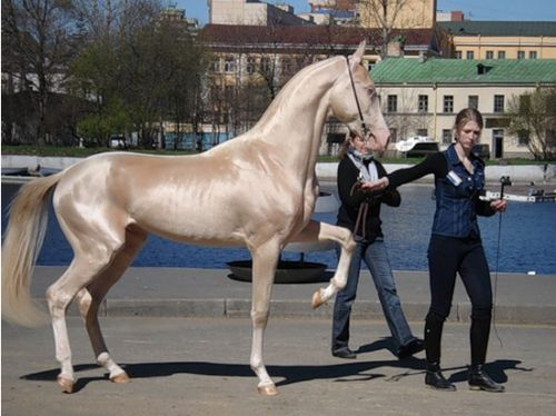 Akhal-Teke is an Ancient and Exotic Horse Breed