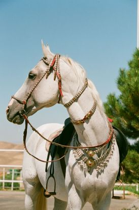 Akhal-Teke: the Golden Horse of the Desert